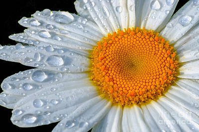Daisies Photograph - After The Rain by Neil Doren