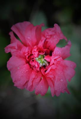 Pretty Pink Poppy Macro Photograph - After The Rain - Poppy Macro 2 by Richard Andrews