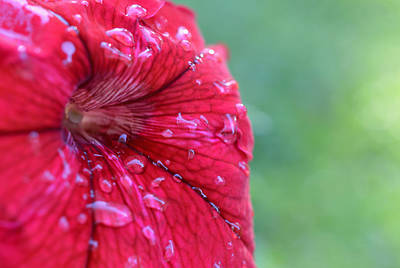Photograph - After The Rain - Red Petunia by Richard Andrews
