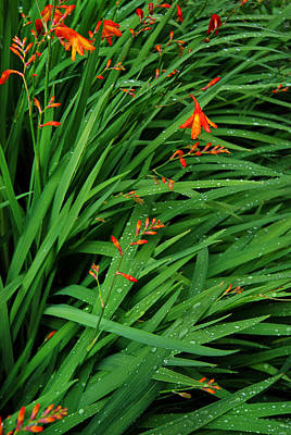 Tiger Lillies Photograph - After The Rain by Robert Lacy