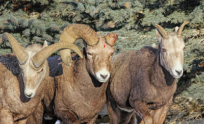 Photograph - After The Rut Bighorn Sheep by Jennie Marie Schell