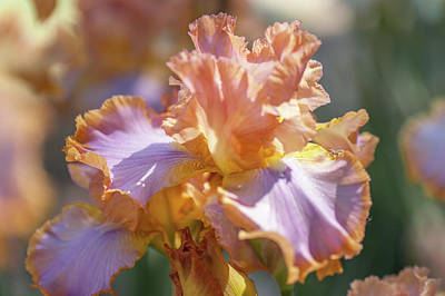Photograph - Afternoon Delight 1. The Beauty Of Irises by Jenny Rainbow