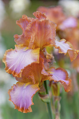 Photograph - Afternoon Delight 2. The Beauty Of Irises by Jenny Rainbow