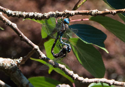 Photograph - Dragonfly Love by Marilyn Wilson