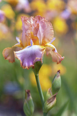 Photograph - Afternoon Delight. The Beauty Of Irises by Jenny Rainbow