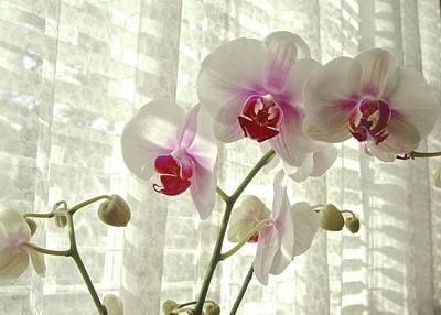 Photograph - Afternoon Delights Of Moth Orchids by Margie Avellino