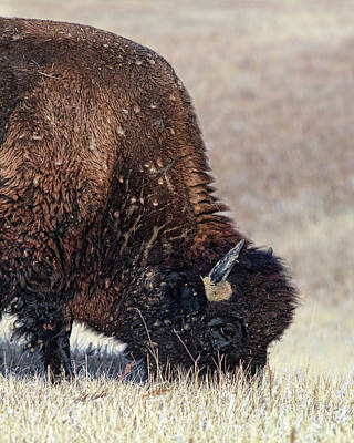 Photograph - Afternoon Grazer by Bill Kesler