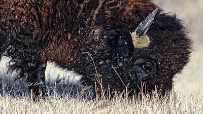 Photograph - Afternoon Grazer Closeup by Bill Kesler