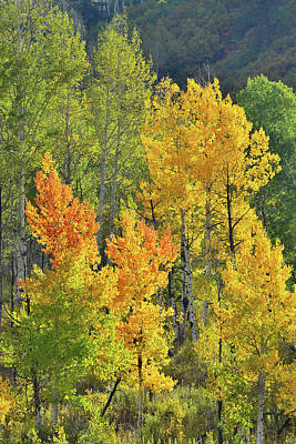 Photograph - Afternoon Light On Aspens Along Highway 62 by Ray Mathis