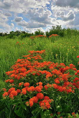Photograph - Afternoon Light On Butterfly Milkweed In Glacial Park by Ray Mathis
