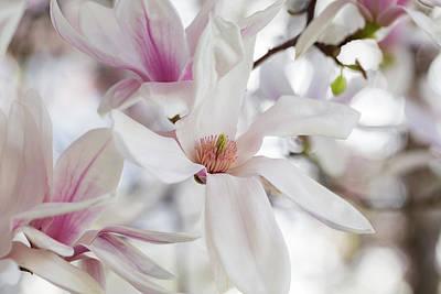 Photograph - Afternoon Magnolia by Lynn Hopwood