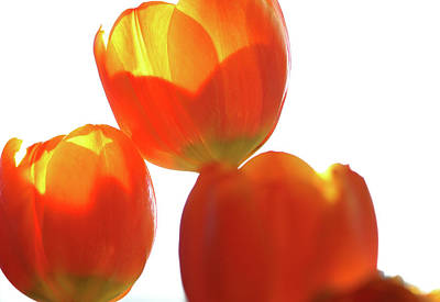 Photograph - Afternoon Tulips by Michael Hope