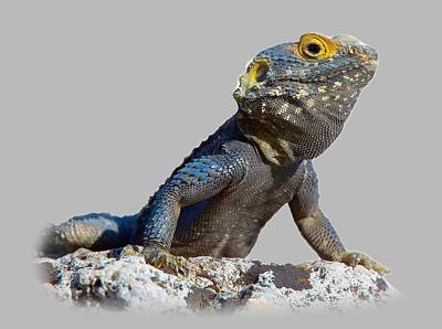 Photograph - Agama Basking On A Rock T-shirt by Tony Mills