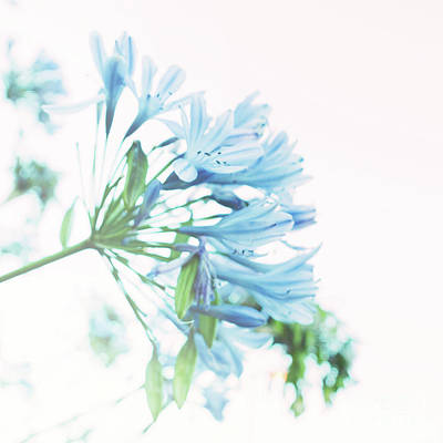Art Print featuring the photograph Agapanthus 1 by Cindy Garber Iverson