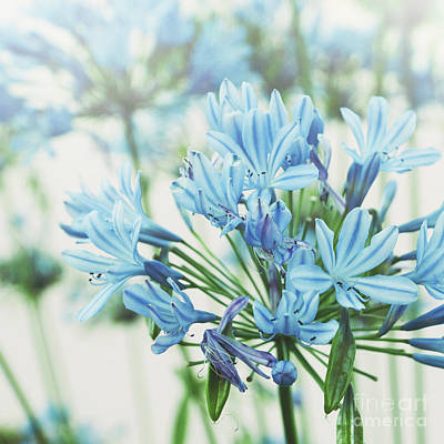 Art Print featuring the photograph Agapanthus 2 by Cindy Garber Iverson