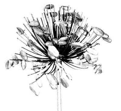 Photograph - Agapanthus B-w.1 by VIVA Anderson