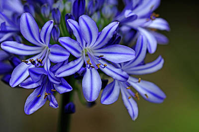 Photograph - Agapanthus Blue by Debbie Oppermann