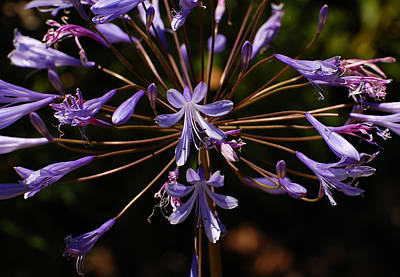 Agapanthus Burst Art Print by Jean Booth