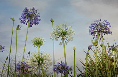 Photograph - Agapanthus Colony by Fraida Gutovich