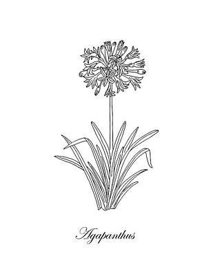 Florals Drawings - Agapanthus Flower Botanical Drawing Black And White by Irina Sztukowski