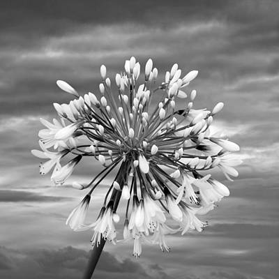 Photograph - Agapanthus In Black And White by Gill Billington