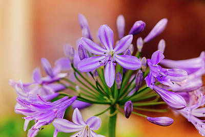 Photograph - Agapanthus by Judy Wright Lott