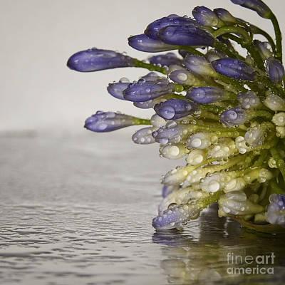 Photograph - Agapanthus Macro Floral by Ella Kaye Dickey