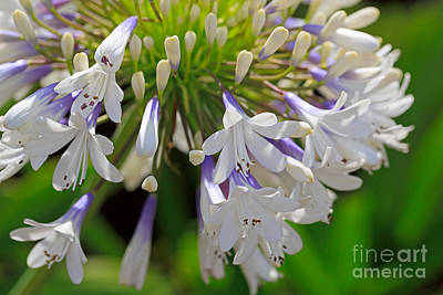 Blue Lily Of The Nile Photograph - Agapanthus Queen Mum by Louise Heusinkveld