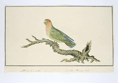 Starlings Painting - Agapornis Roseicollis Rosy-faced Lovebird, Robert Jacob Gordon, 1777 - 1786 by Robert Jacob Gordon