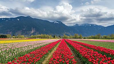 Photograph - Agassiz Tulip Fields by Pierre Leclerc Photography