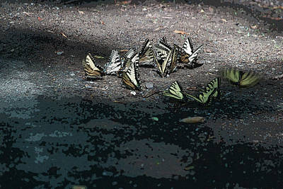 Photograph - A Gathering Of Swallowtails by Suzanne Gaff