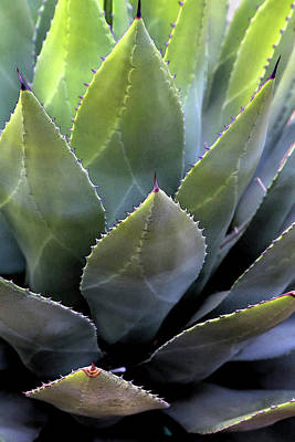 Photograph - Agave 5 by Mary Bedy