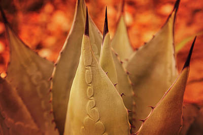 Photograph - Agave Americana In Color by Toni Hopper