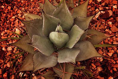 Photograph - Agave Americana Plant by Toni Hopper