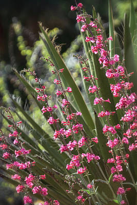 Photograph - Agave And Pink Penstemon  by Saija Lehtonen