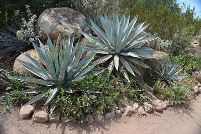 Arizona Photograph - Agave And Rocks  by Aimee L Maher Photography and Art Visit ALMGallerydotcom