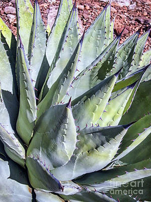 Photograph - Agave by Anthony Citro