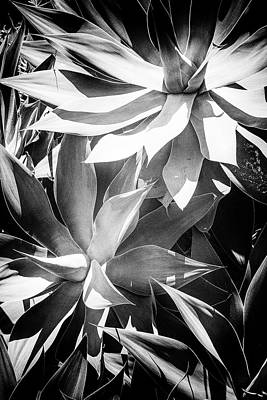 Photograph - Agave Attenuata by Edgar Laureano