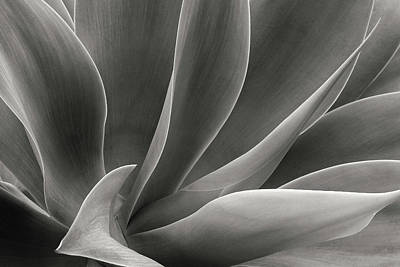 Photograph - Agave Attenuata In Black And White by Ram Vasudev