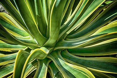 Photograph - Agave Burst 2 by Lynn Palmer