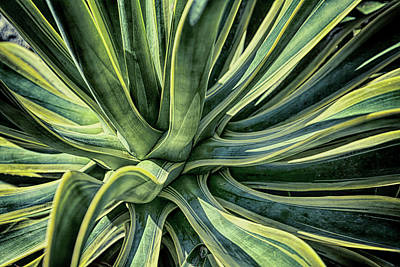Photograph - Agave Burst 3 by Lynn Palmer