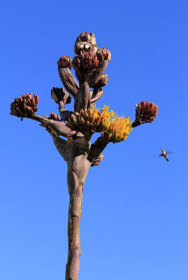 Photograph - Agave Flowers With Hummingbird by Robin Street-Morris