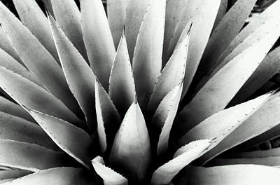 Still Life Photograph - Agave In Black And White by Heather S Huston