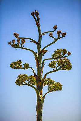 Photograph - Agave by John Noel