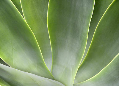 Agave Leaves Art Print