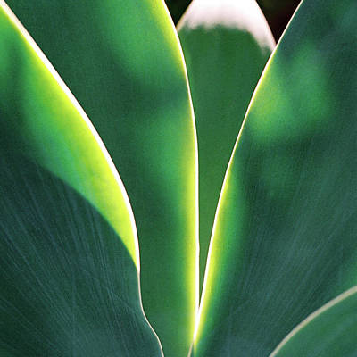 Photograph - Agave by Nik West