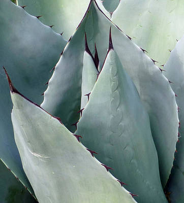 Photograph - Agave Parryi by Claudia Goodell