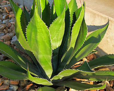 Photograph - Agave Plant by Connie Fox