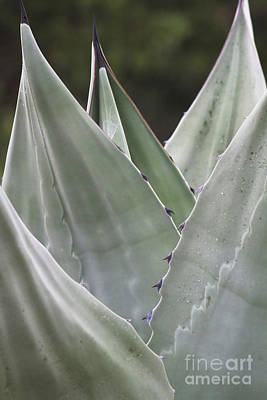 Photograph - Agave Plant by David Cutts