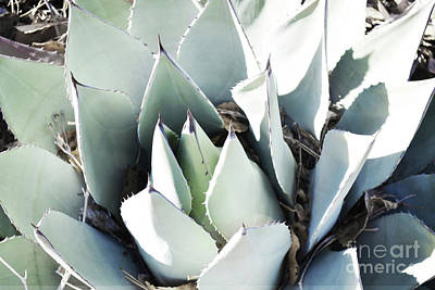Photograph - Agave Plant Leaves by Andrea Hazel Ihlefeld
